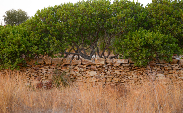Picacia lentiscus van Chia, mastic tree cultivation landscape Chios, Greece Photo: Lena Athanasiadou, PHALA Greece
